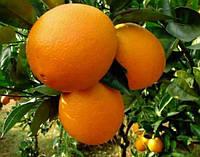 """Апельсин """"Вашингтон навел"""" контейнер"""