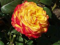 """Роза чайно-гибридная """"Ирида"""""""