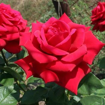Троянди чайно-гібридна Кирило