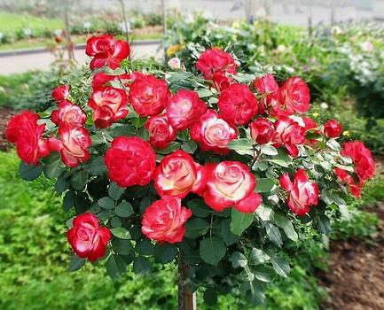 Троянди чайно-гібридна Люксор