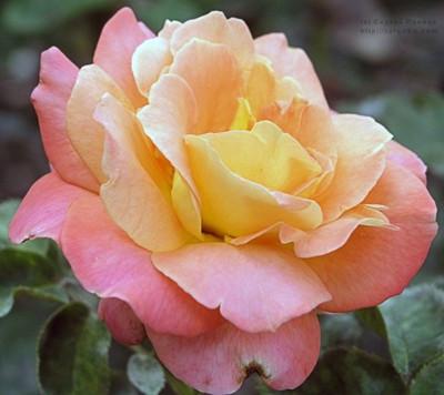 """Троянди чайно-гібридна """"Люстиге"""""""