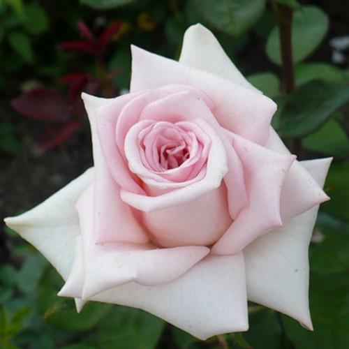 Роза чайно-гибридная Эмма де Мейян