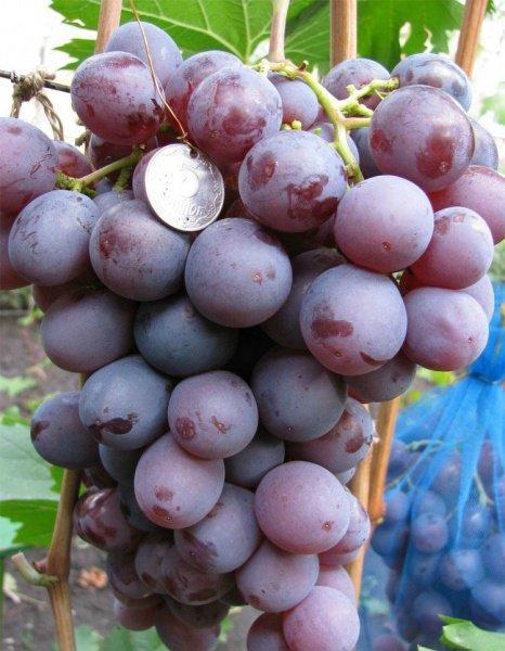 Виноград Рождественский