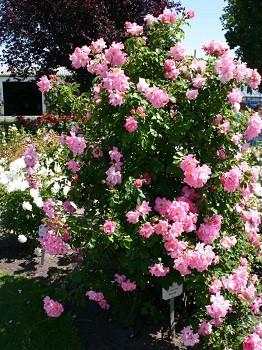 Роза в'юнка Маніта