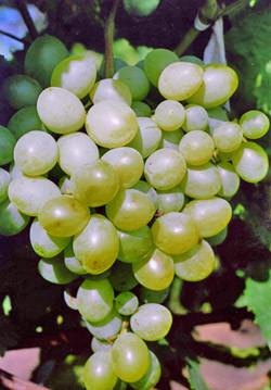 Виноград Экстаз