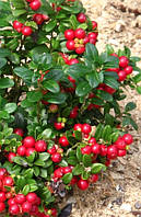 "Брусника ""Ред Перл""\Vaccinium vitis-idaea""Red Pearl"" контейнер"