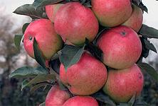 """Яблоня колоновидная поздняя """"Валюта"""""""