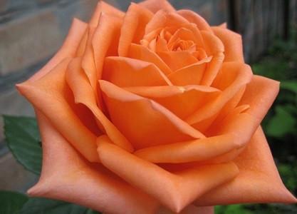 """Роза чайно-гибридная """"Эльдорадо""""\""""Eldorado"""" контейнер 2л"""