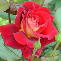 """Роза чайно-гибридная """"Клеопатра""""\""""Kleopatra"""""""