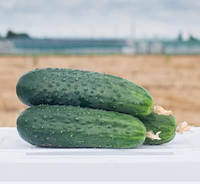 Антисипатор F1, 500 семян — огурец партенокарпический