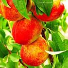 Саженцы Нектарина Фантазия - средний, неприхотливый, крупноплодный, фото 2