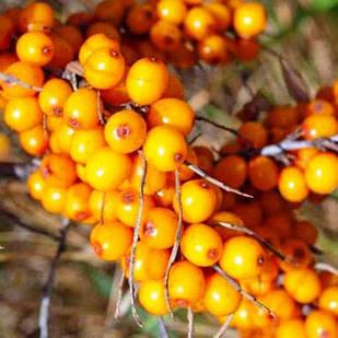 Саженцы Облепихи Лыбидь (Женская) - ранняя, бесшипная, урожайная