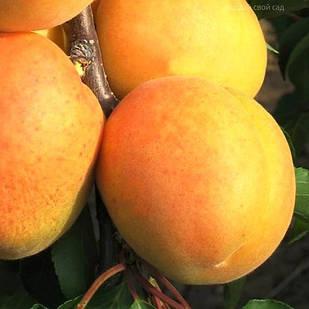 Саженцы Абрикоса Персиковый - средний, крупноплодный, сладкий