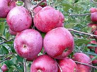Саженцы яблони на карликовом подвое Флорина