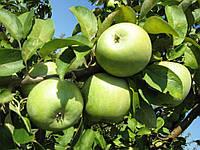 Саженцы яблони на карликовом подвое Семеренко
