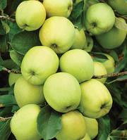 Саженцы яблоня на карликовом подвое Гала