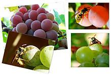 Мешки от ос на виноград фиолетовые 5 кг, 28*40 см (сетка-мешок для винограда). От ос, мошек и др. насекомых!!!, фото 2