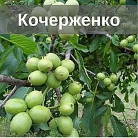 Саженцы ореха Кочерженко (Двухлетний)