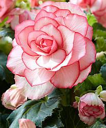 Луковицы бегонии Бутон де Роуз (Bouton de Rose) 1шт