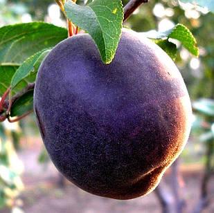 Саженцы Абрикоса Чёрный Бархат - поздний, неприхотливый, урожайный