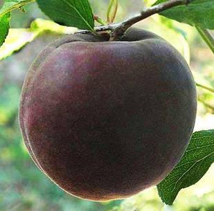 Саженцы Абрикоса Черный Персиковый - поздний, сладкий, урожайный