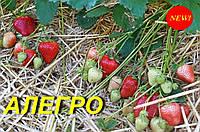 """Земляника садовая (КЛУБНИКА) """"Аллегро"""" (фріго А)"""