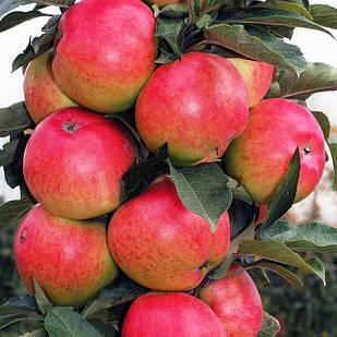 Саженцы Яблони Валюта - колоновидная, зимняя, зимоустойчивая