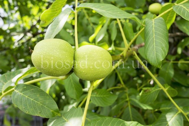 Саженцы грецкого ореха КИШИНЕВСКИЙ