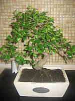 Дерево Бонсай, фото 1