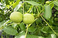 Грецкий орех Кишиневский (Привитый), фото 1