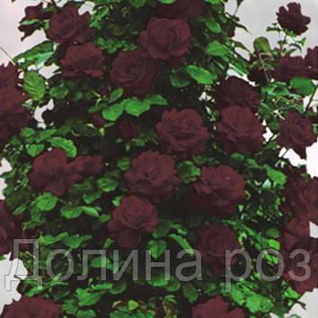 Плетистая роза чёрная королева