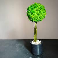 Стабілізоване дерево у круглому бетонному кашпо 30-40 см висота, фото 1