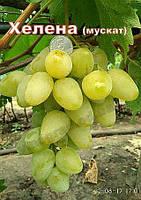 Хелена,сорт винограда раннего срока созревания