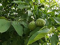 Грецкий орех ЧЕРНОВИЦКИЙ 2 (ЧЕРНІВЕЦЬКИЙ 2)/(Привитый), фото 1