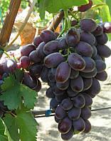 Саженцы винограда Марадона (двухлетка)