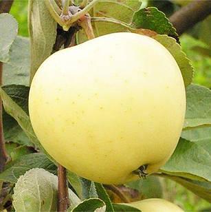 Саджанці Яблуні Білий налив - літня, урожайна, зимостійка