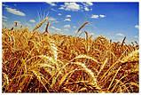 Каша «Самарский здоровяк» №36 Пшенично-гречневая с расторопшей и топинамбуром, фото 5