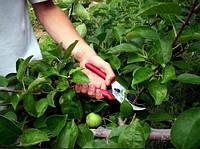 Обрезка плодовых деревьев: