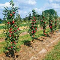 Обрезка, формировка колоновидных плодовых деревьев.