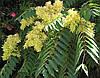 Айлант высочайший или китайский ясень (в упаковке 30 семян)