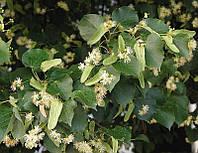 Липа мелколистная (Tilia cordata) (семена 30 шт), фото 1