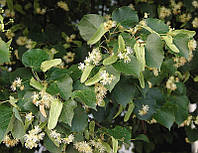 Липа дрібнолиста (Tilia cordata) (насіння 100 шт), фото 1