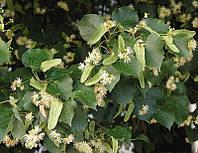 Липа мелколистная (Tilia cordata) (семена 100 шт), фото 1