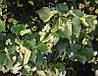 Липа крупнолистная (Tilia platyphyllos) (семена 10 шт)
