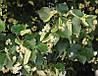 Липа американская (Tilia americana) (семена 10 шт)