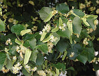 Липа американская (Tilia americana) (семена 30 шт), фото 1