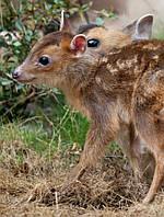 Индийский мунтжак, или лающий олень (Muntiacus muntjak)