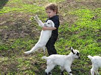 Мини  козы камерунки – и красиво и прибыльно