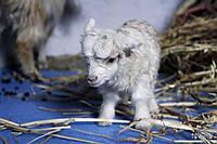 Карликовая овца, мини баран, или  уэссент (Ovis aries Ouessant)