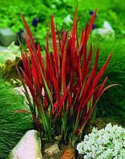 Імперата циліндрична Red Baron1 рік, Императа цилиндрическая Ред Барон, Imperata cylindrica Red Baron, фото 2